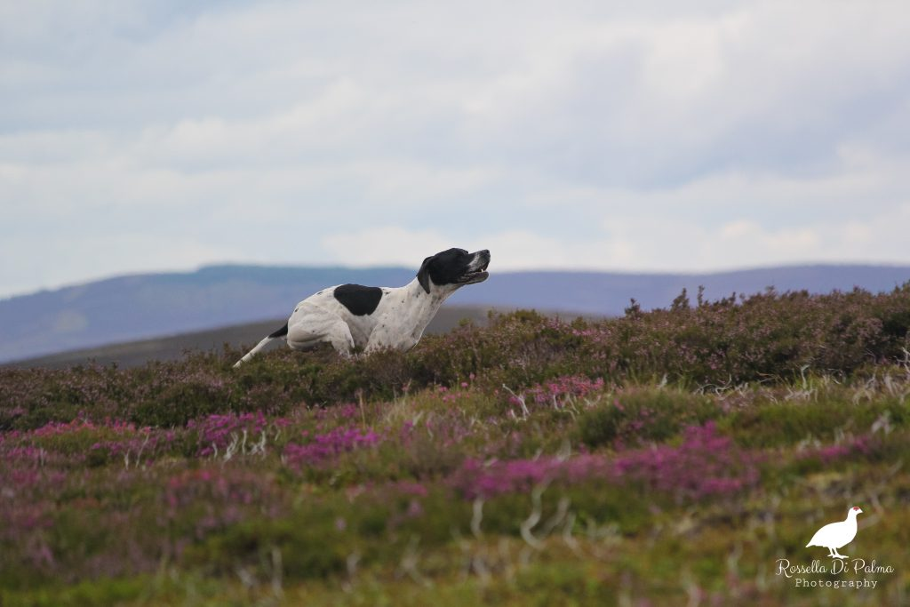 Dogs, purple heather, lavender skies